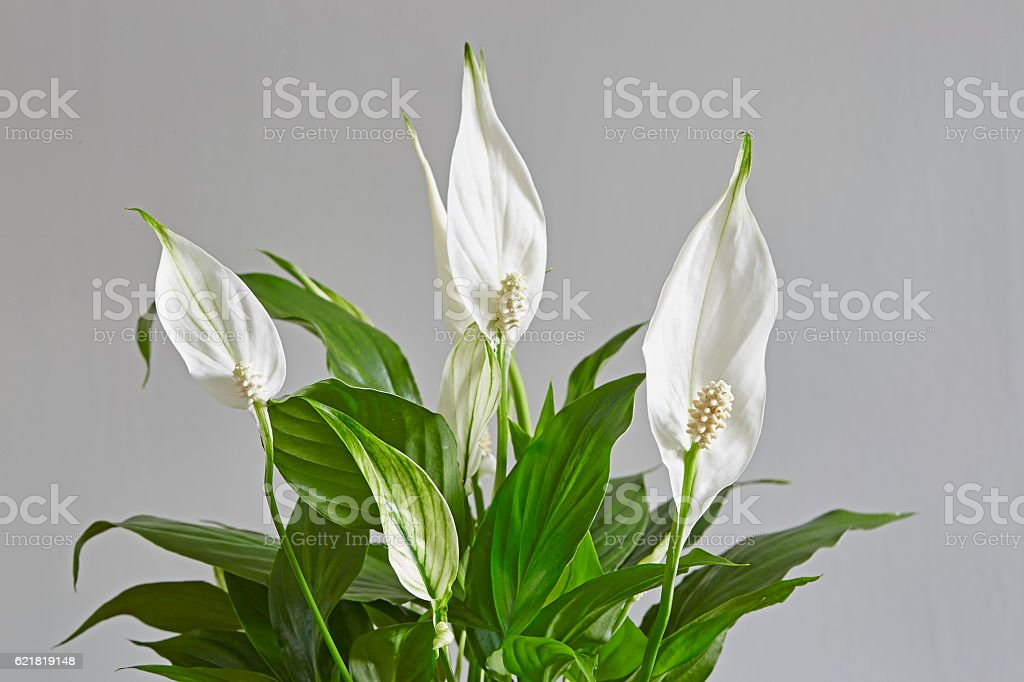 Spathiphyllum,Peace lily stock photo