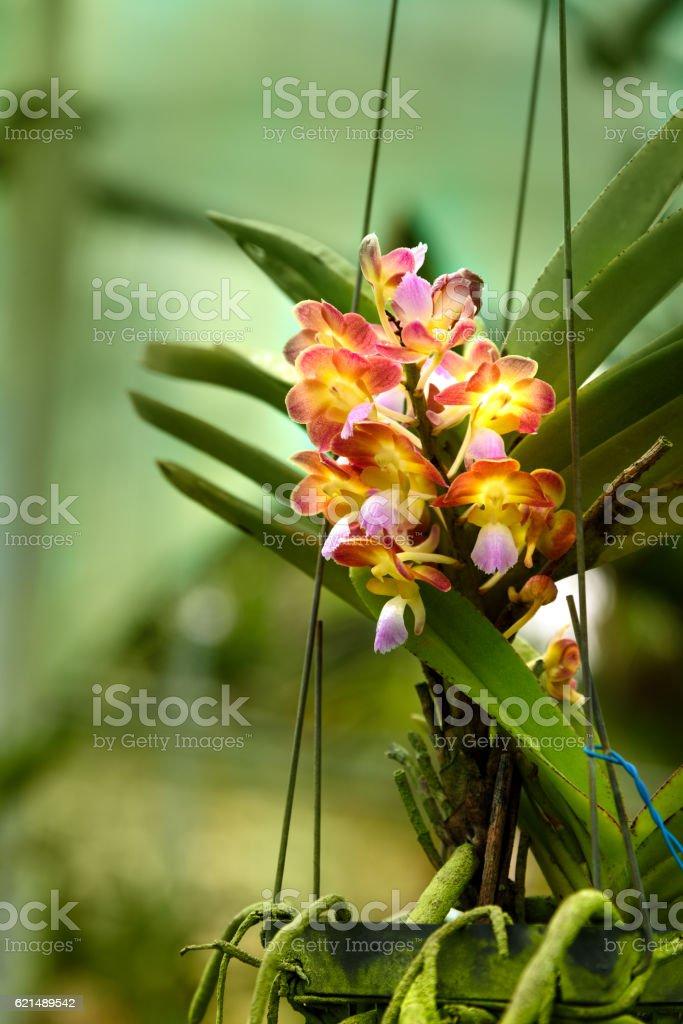 Spathoglottis hybrids orchids flower Lizenzfreies stock-foto
