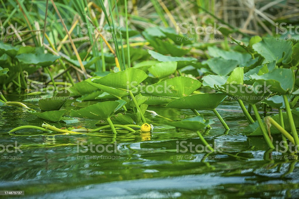 Spatterdock aka Yellow pond lily royalty-free stock photo