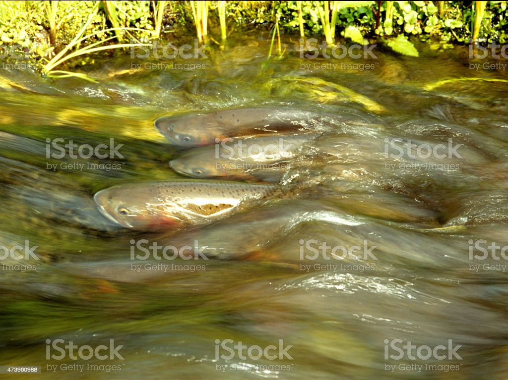 Spawning Cutthroat Trout stock photo
