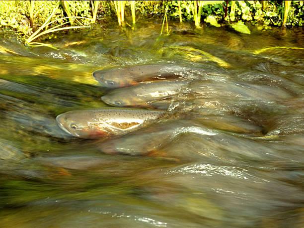 Laichen Cutthroat Trout – Foto