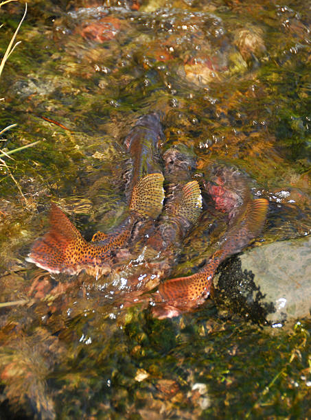 Spawning Cutthroat Trout three spawning Cutthroat trout make they way up the inlet to Trout lake in Yellowstone National Park cutthroat stock pictures, royalty-free photos & images