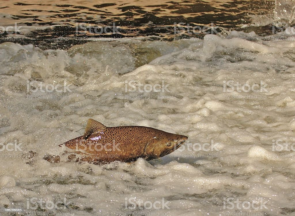 Spawning Run royalty-free stock photo