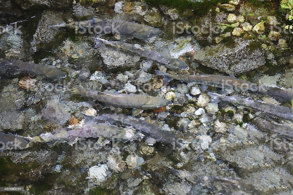 Spawning Salmon in Creek royalty-free stock photo