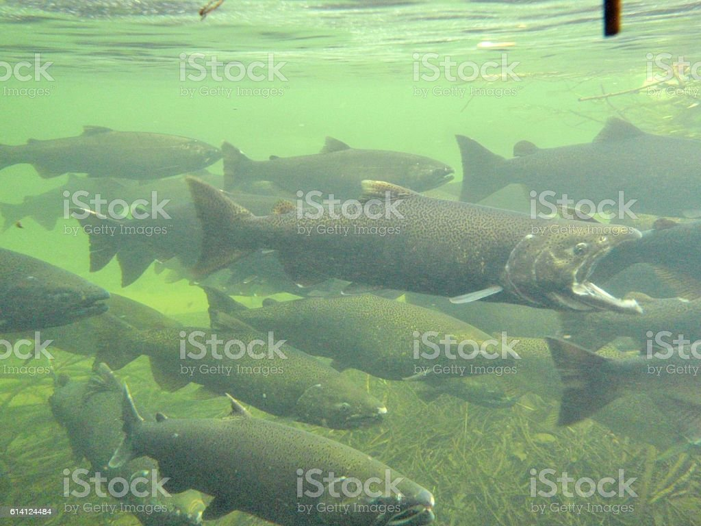 Spawning Salmon stock photo
