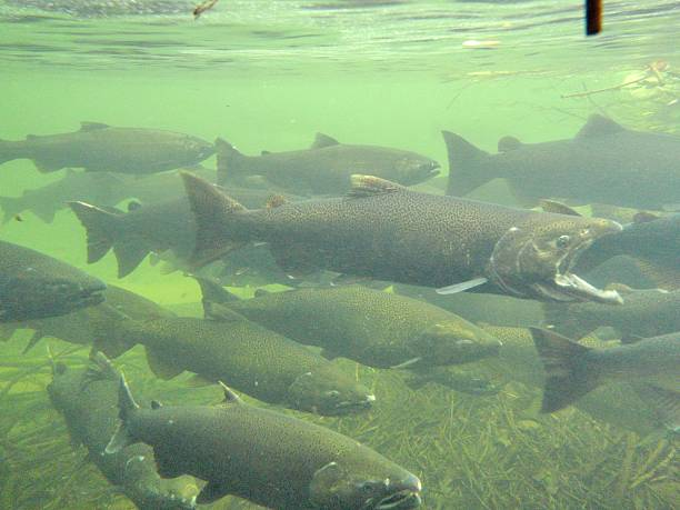 spawning salmon - chinook salmon stock photos and pictures