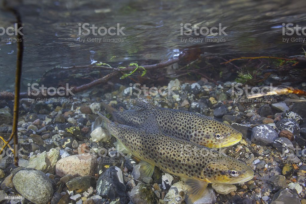 Laichen See trout (Salmo trutta) in klares Wasser creek – Foto
