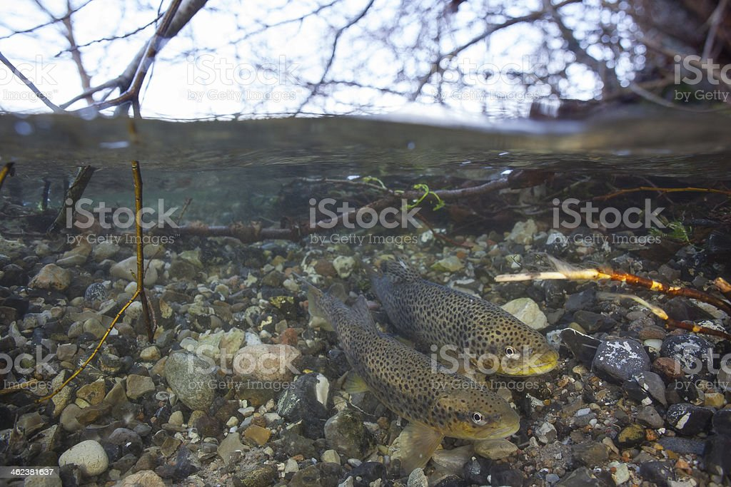 Spawning sea trout (Salmo trutta) in clear water creek stock photo