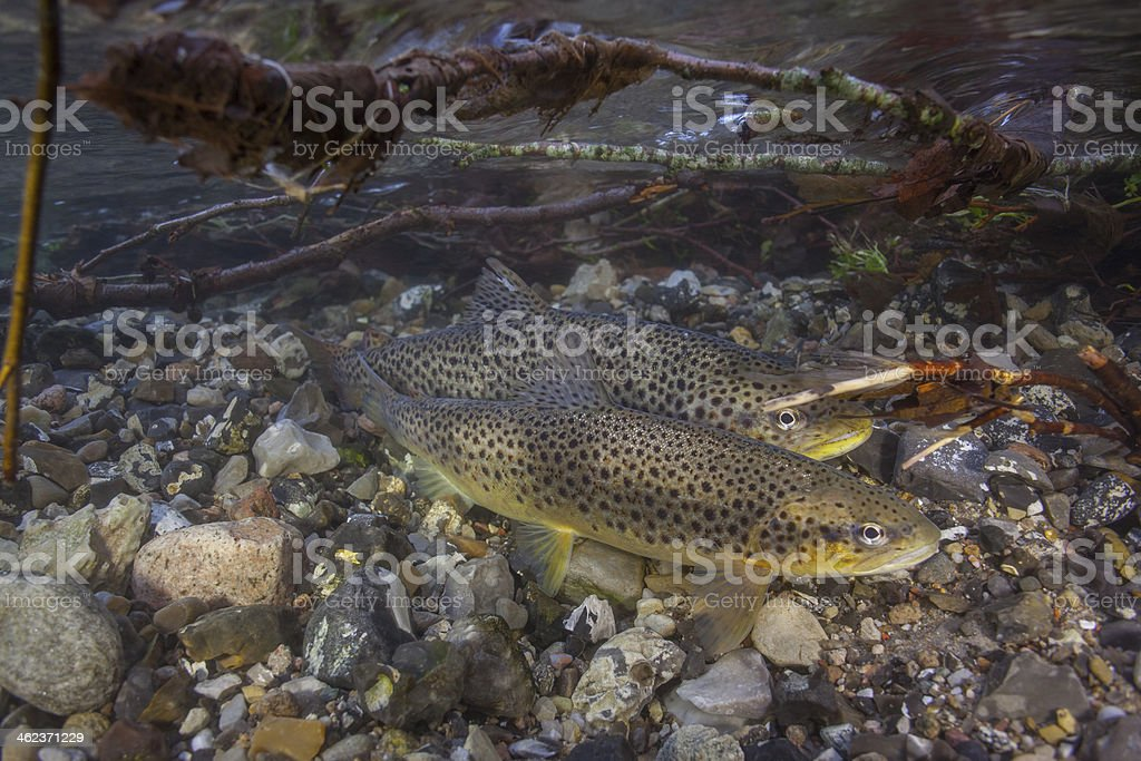 Spawning sea trout (Salmo trutta) in creek stock photo