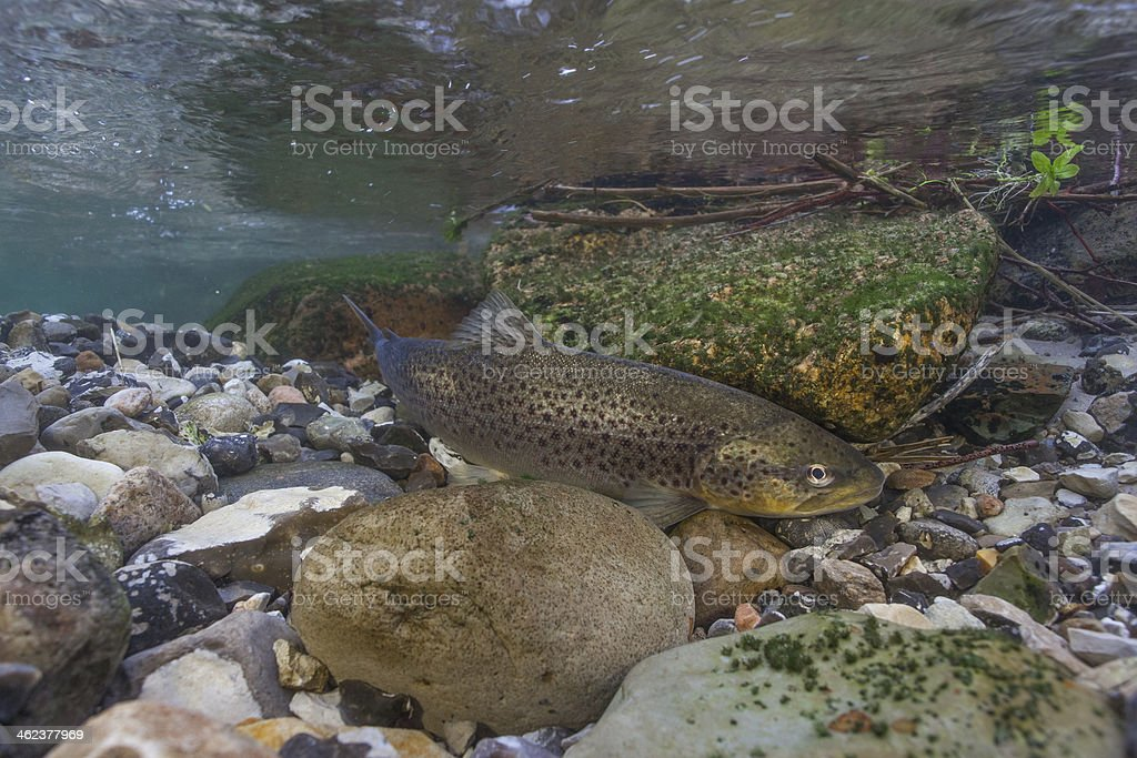 Laichen See trout (Salmo trutta) in creek – Foto