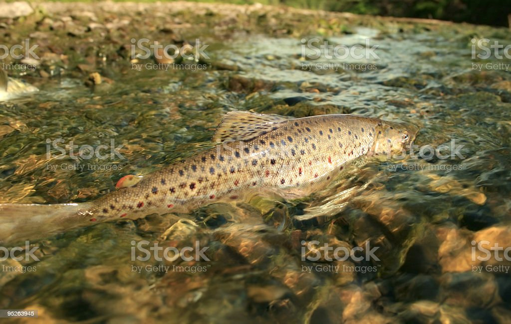 spawning season stock photo