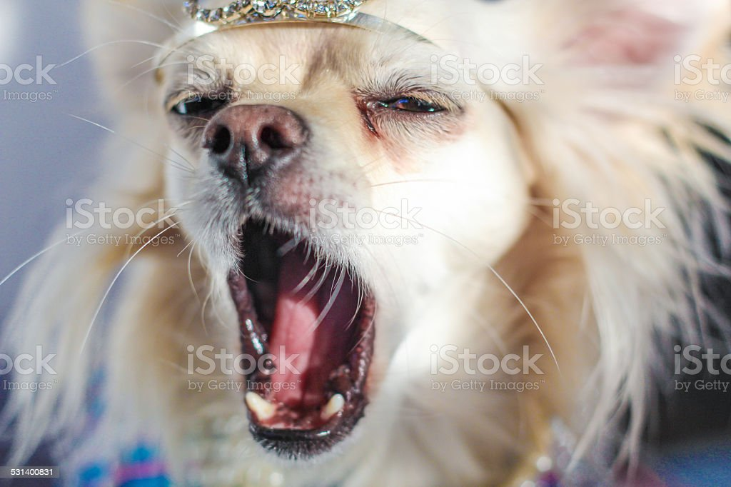 Yawning chihuahua with a wearing a crown