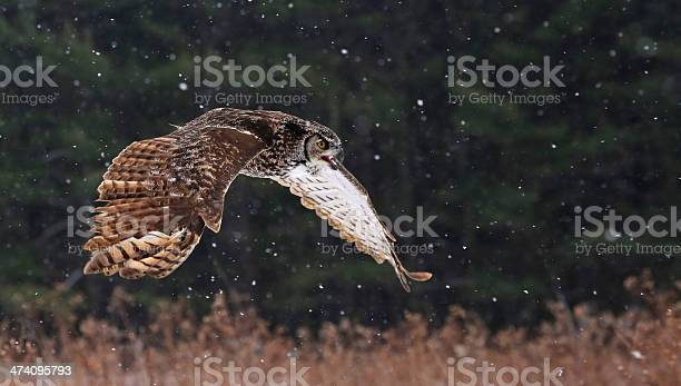 Speaking great horned owl in flight picture id474095793?b=1&k=6&m=474095793&s=612x612&h=nig5jii7x lkbgnxwlu5e9ur69gu3wuu2hh2wg24bno=