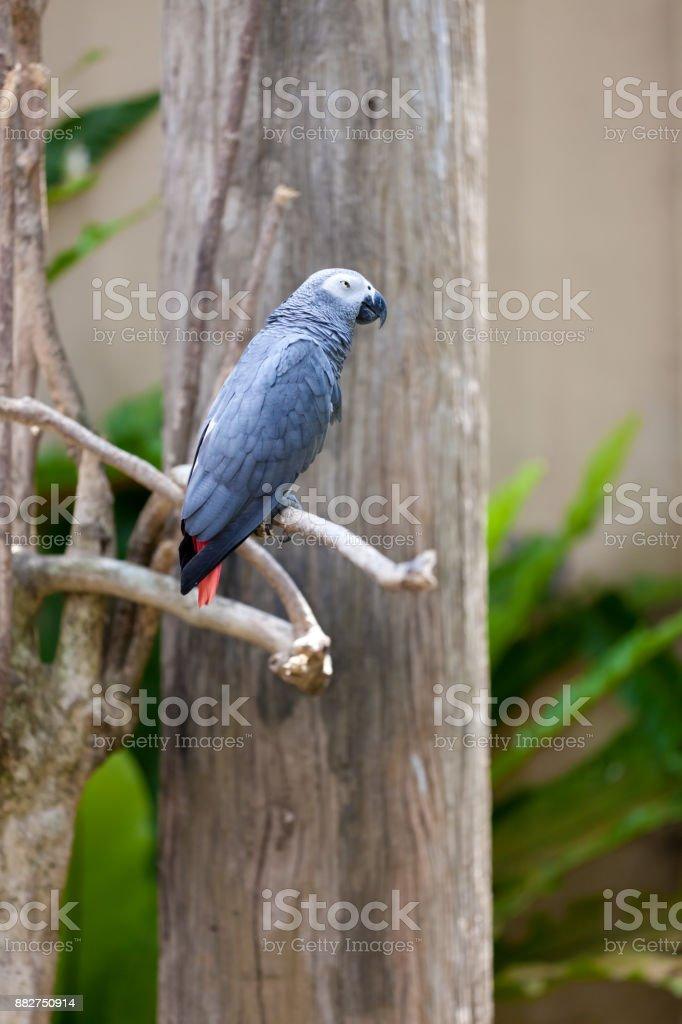 Speaking Grey Parrot stock photo