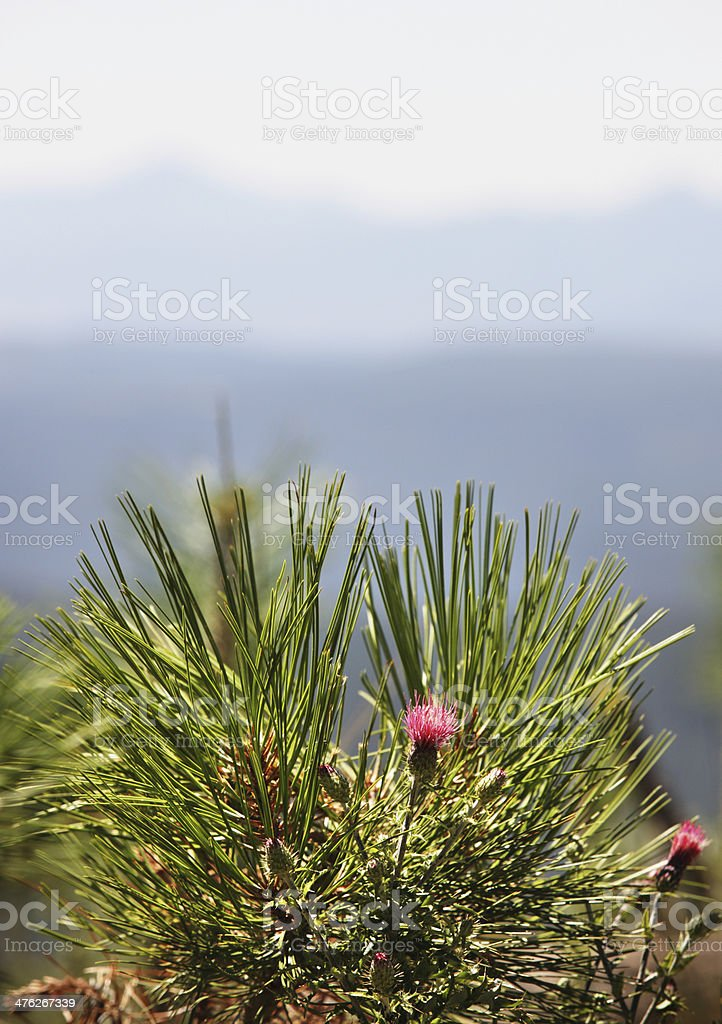 Spear Thistle Cirsium vulgare Plant royalty-free stock photo