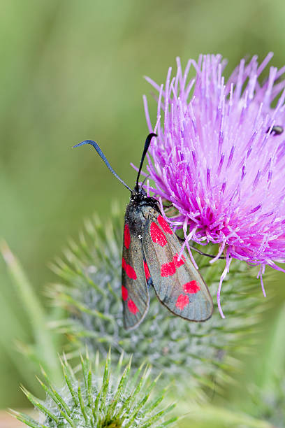 Spear Thistle 'Cirsium vulgare' Six Spot Burnett Moth stock photo