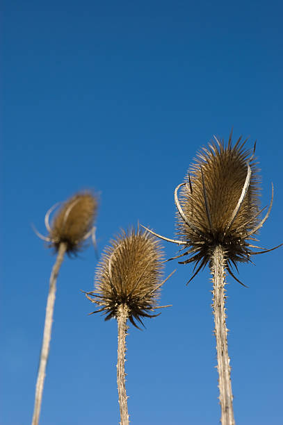 Spear Thistle stock photo
