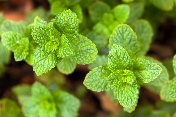 Spearmint leaves - Garden mint - mentha stock photo