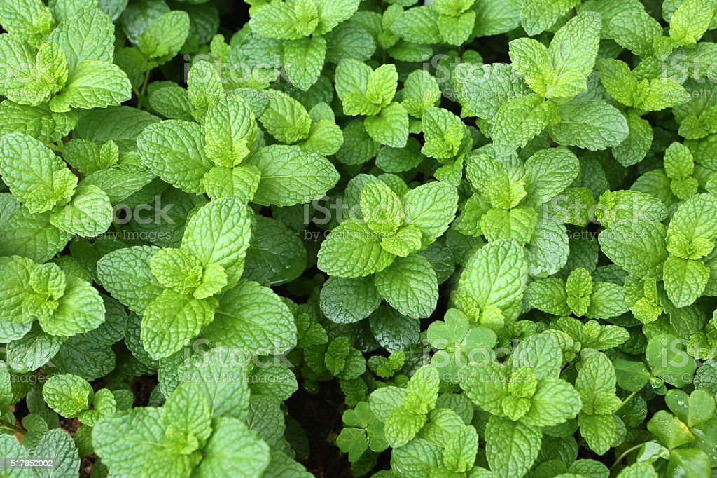 Spearmint,Labiatae,Mentha Spicata L stock photo