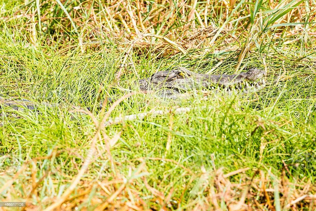 Special Baringo Lake Small Crocodile - camouflage stock photo