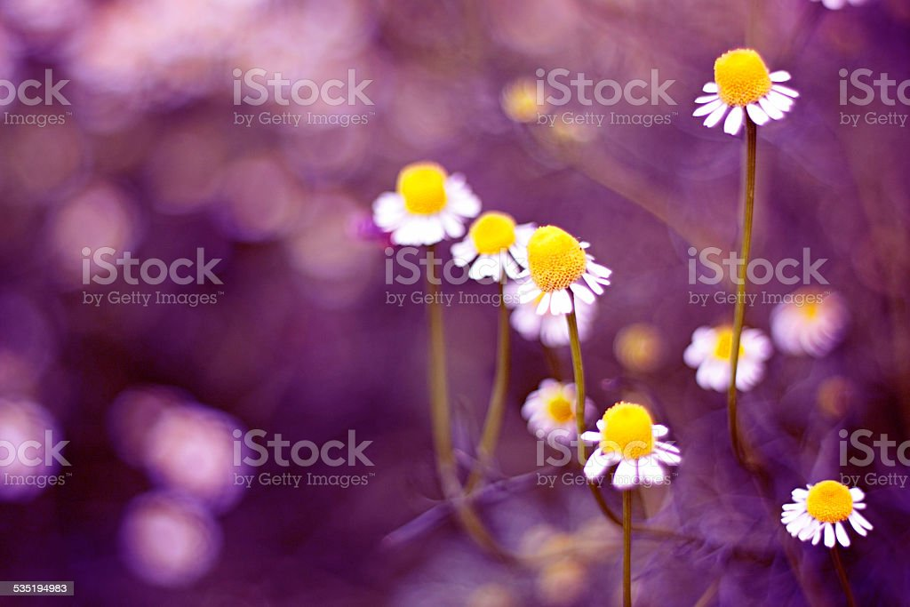 Special daisies. stock photo