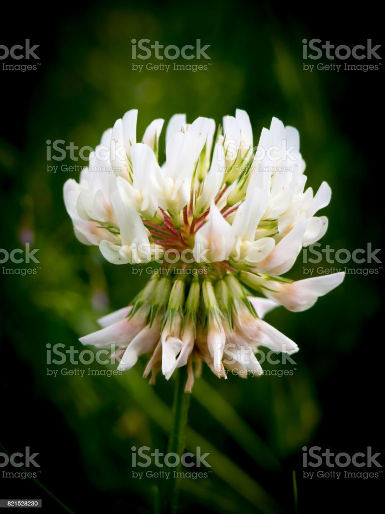 special detailed white clover flower head close up stock photo