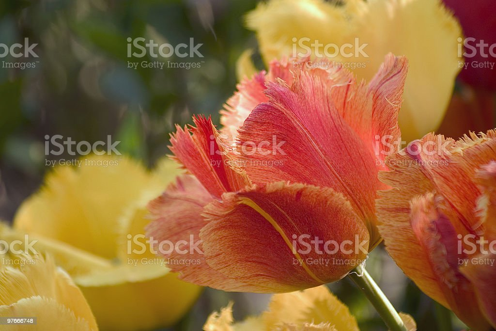 special Dutch tulips royalty-free stock photo