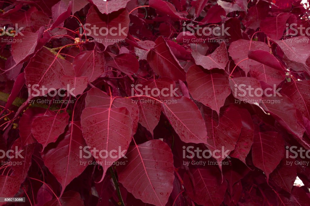 Special Red Color Bodhi, Red Leaf bodhi tree or Peepal Leaf stock photo
