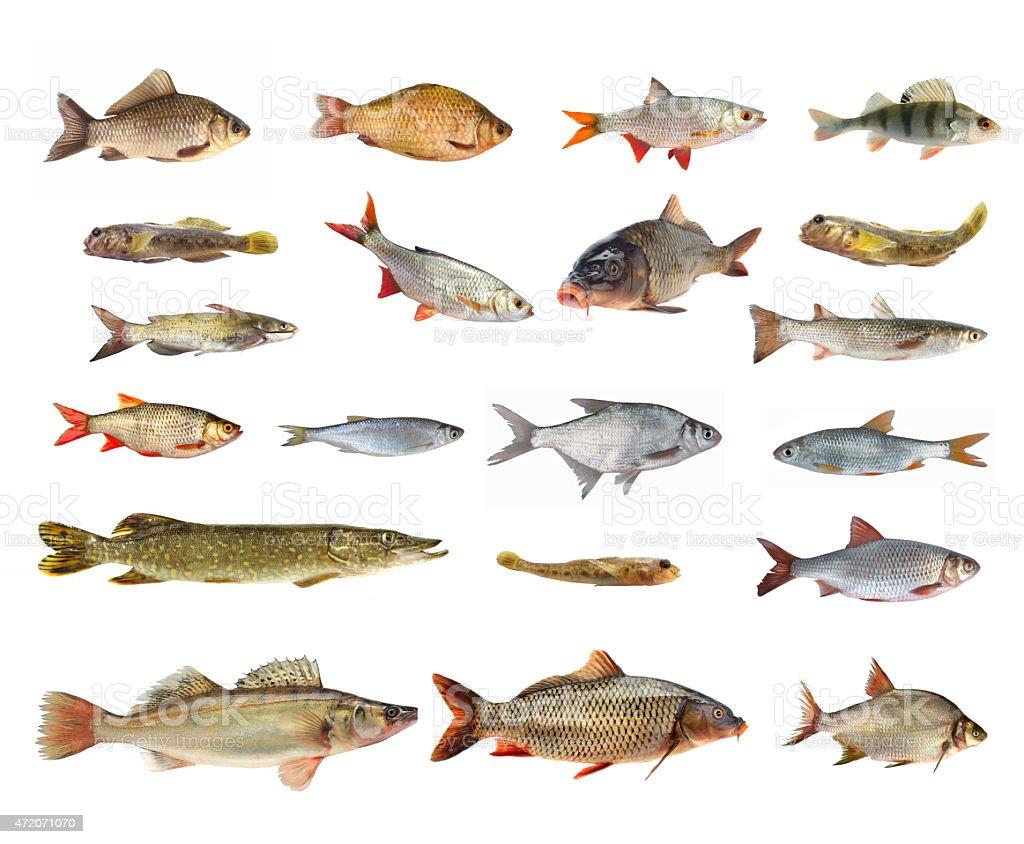 specie di pesci di fiume fotografie stock e altre On specie di pesci
