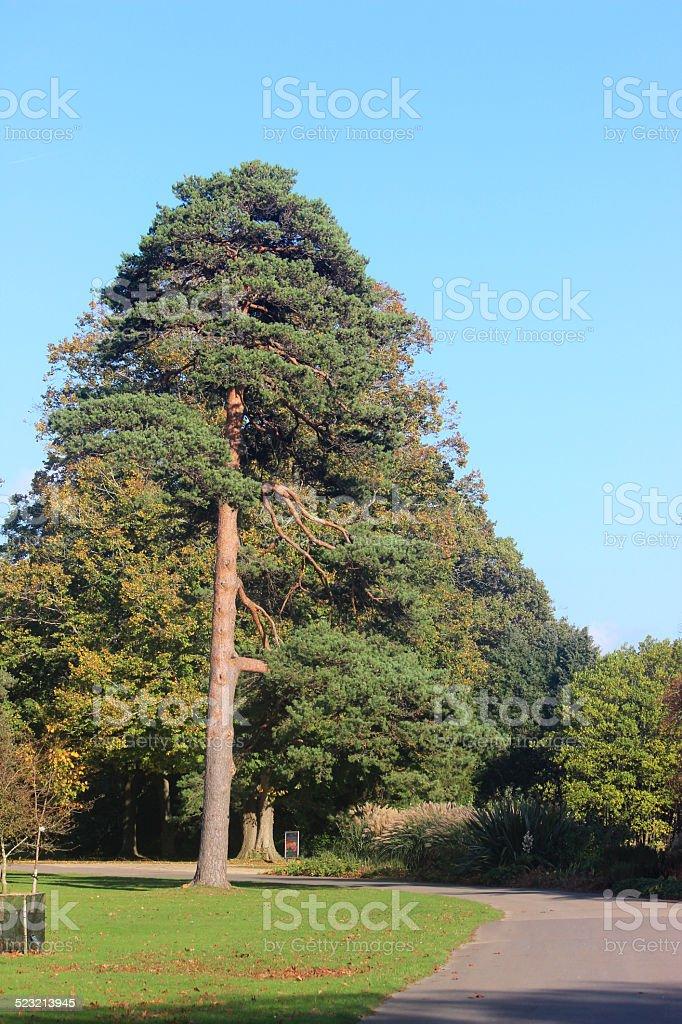 Fotografía de Muestra Crecimiento Del árbol De Pino En Park y más ...