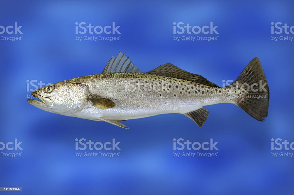 Speckle Trout Fish royalty-free stock photo
