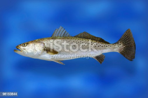 Speckle Trout Fish Stock Photo & More Pictures of Animal Fin
