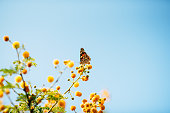 Speckled butterfly on yellow flower