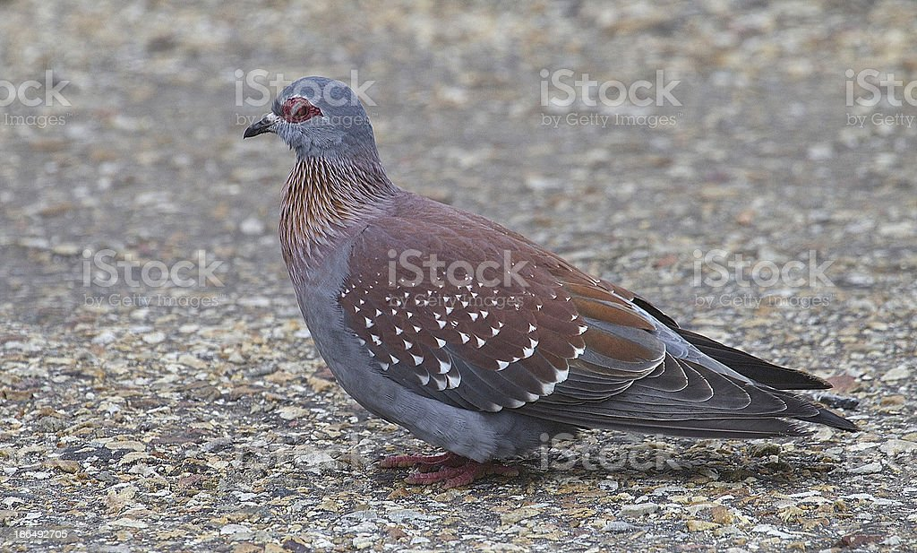 Speckled Pigeon royalty-free stock photo