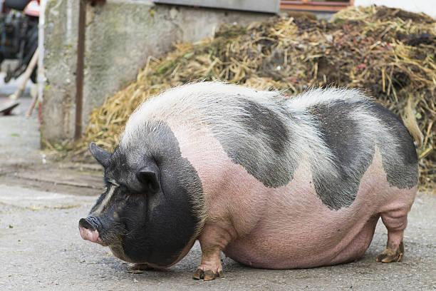 Gepunktete Hängebauchschwein – Foto