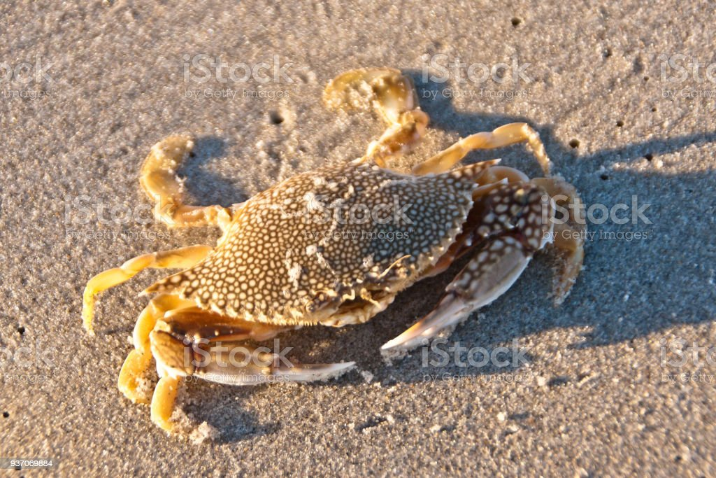 Speckled Swimming Cram, dead An expired (freshly dead) Speckled Swimming Crab washed up by the surf onto Cocoa Beach one January morning 2018 photographed shortly after dawn.  The view is frontal including eye stalks and antennae above the mouth.  The main body, called cephalothorax, is speckled.  The mount is the large opening in the center of the leading edge of cephalothorax.  To the right and left are the arms with pincers.  Scientific Name: Arenaeus cribarius. Animal Stock Photo