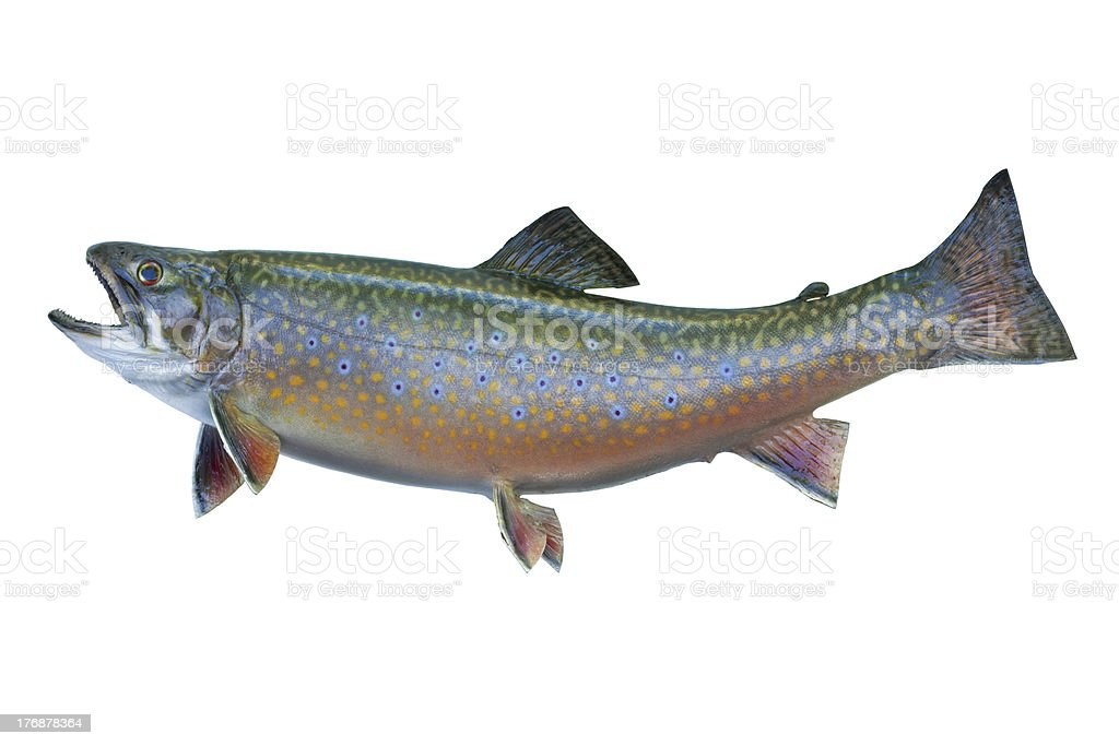 Speckled trout isolated on white stock photo