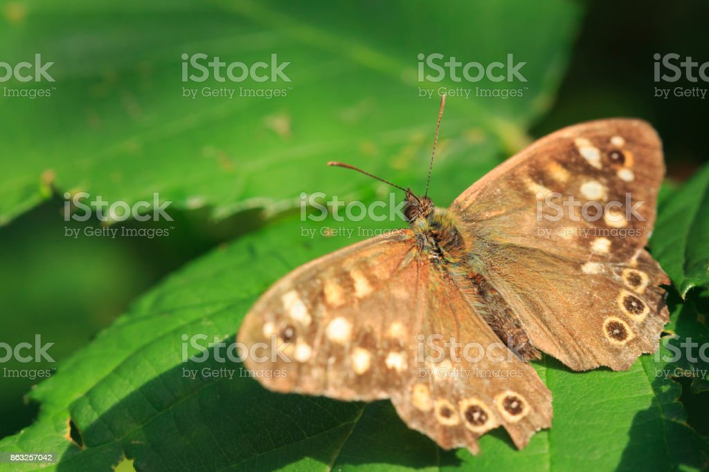 Speckled wood butterfly Pararge aegeria top view stock photo