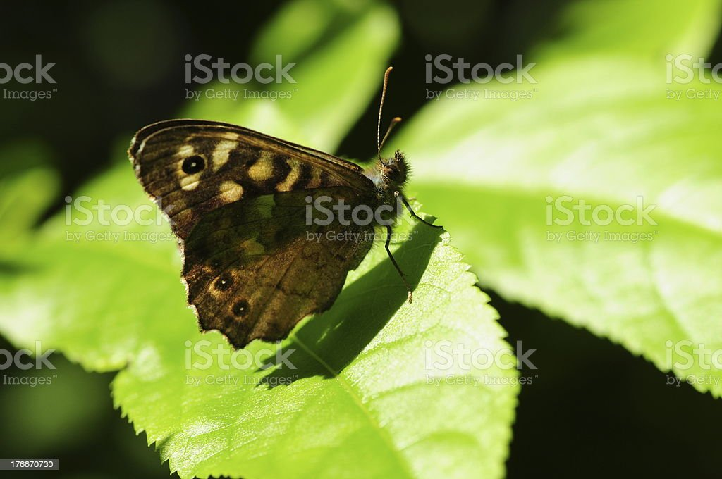 Speckled Wood Butterfly, U.K. royalty-free stock photo
