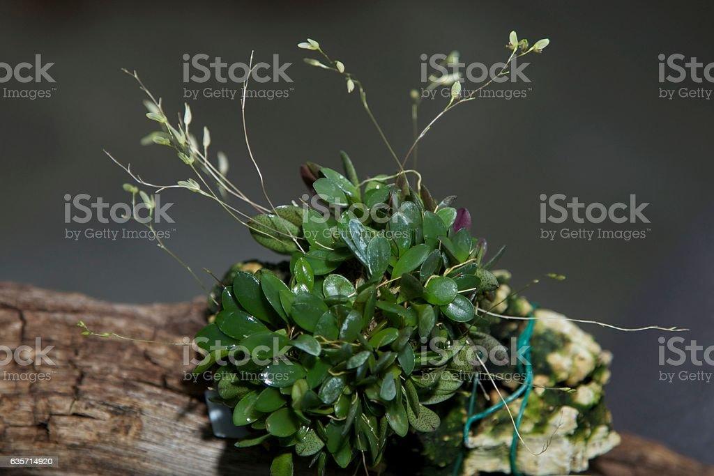 Specklinia grobyi semi-alba Orchid royalty-free stock photo