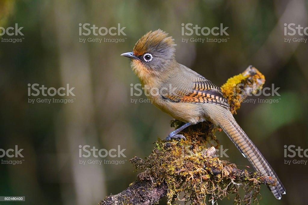 Spectacled Barwing bird stock photo