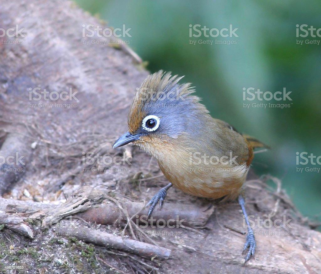 Spectacled Barwing ( bird ) stock photo