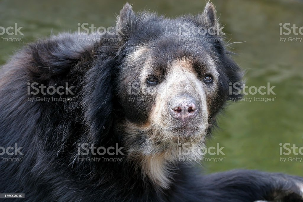 Spectacled Bear royalty-free stock photo