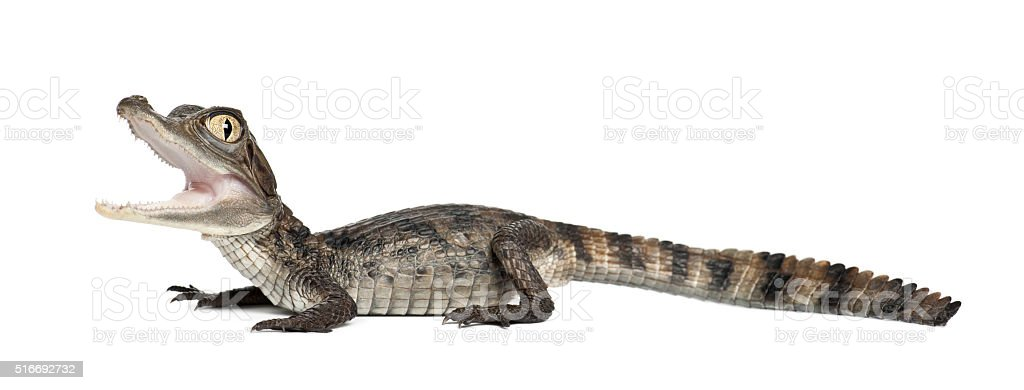 Spectacled Caiman also known as a the White Caiman stock photo