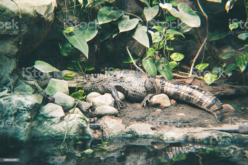Spectacled caiman by the river Lizenzfreies stock-foto