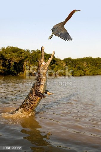Spectacled Caiman, caiman crocodilus, Adult leaping out of water with Open Mouth, trying to Catch a Rufescent Tiger-Heron, tigrisoma lineatum, Los Lianos in Venezuela