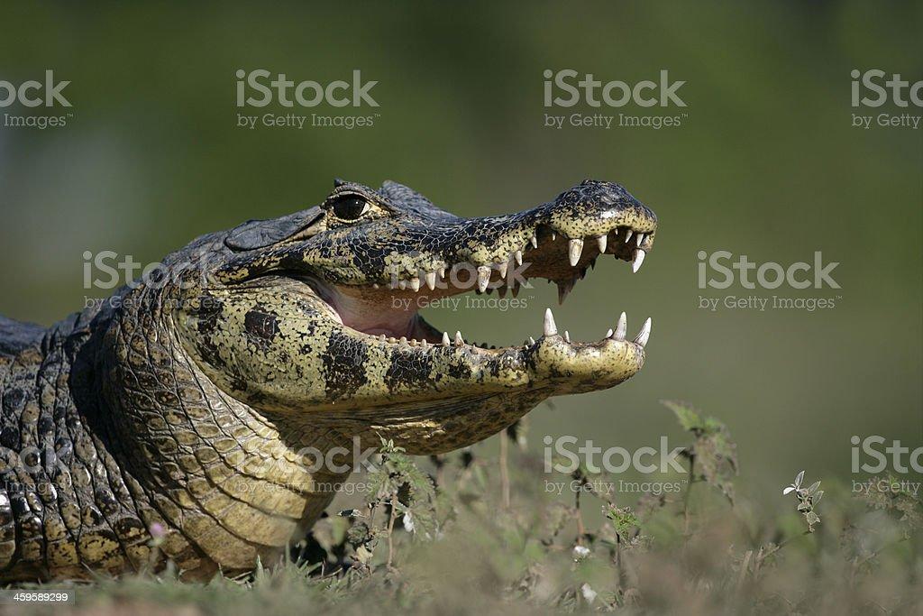 Spectacled caiman, Caimann crocodilus stock photo