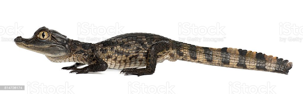 Spectacled Caiman, Common Caiman, 2 months old, stock photo