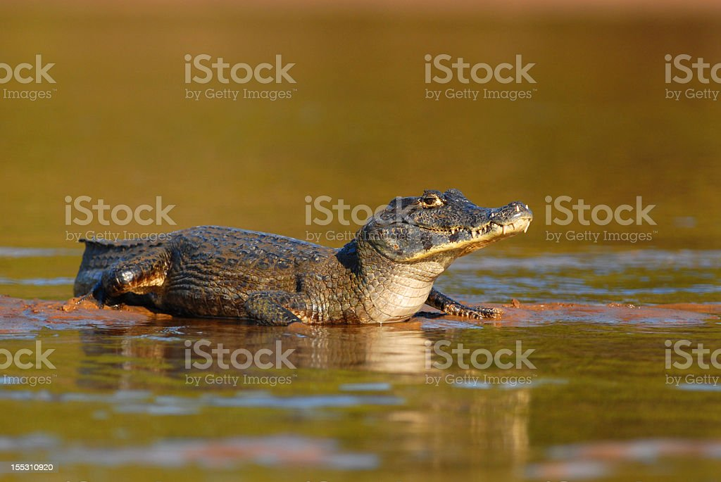 Spectacled Caiman in its natural habitat stock photo