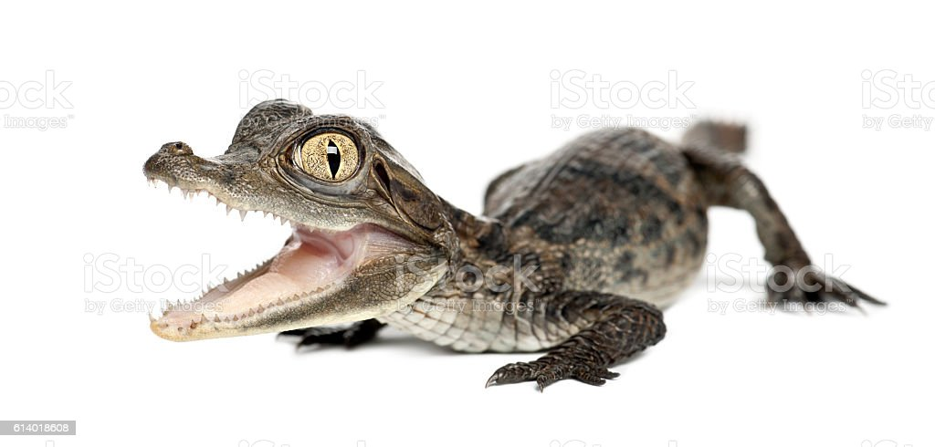 Spectacled Caiman isolated on white stock photo